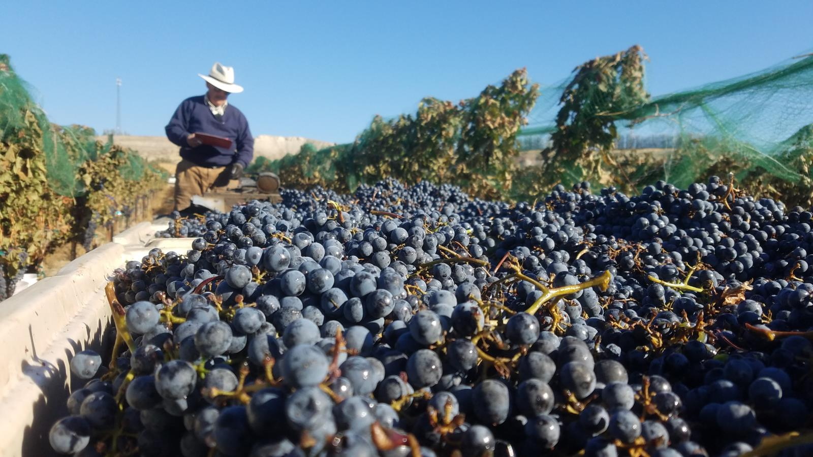 Wine grapes are harvestd in a southwestern Idaho vineyard.