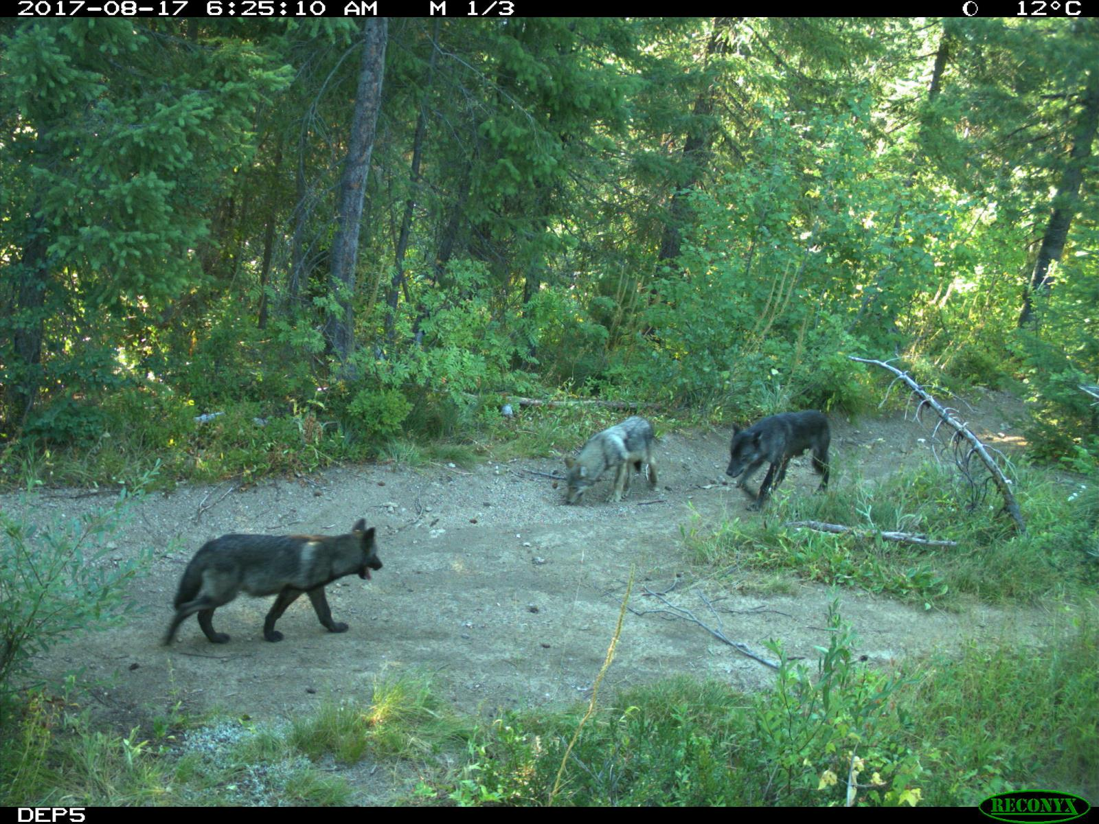 Wolves are shown in a picture taken by one of Idaho Department of Fish and Game's remote cameras. Wolf depredations of Idaho livestock down this fiscal year.