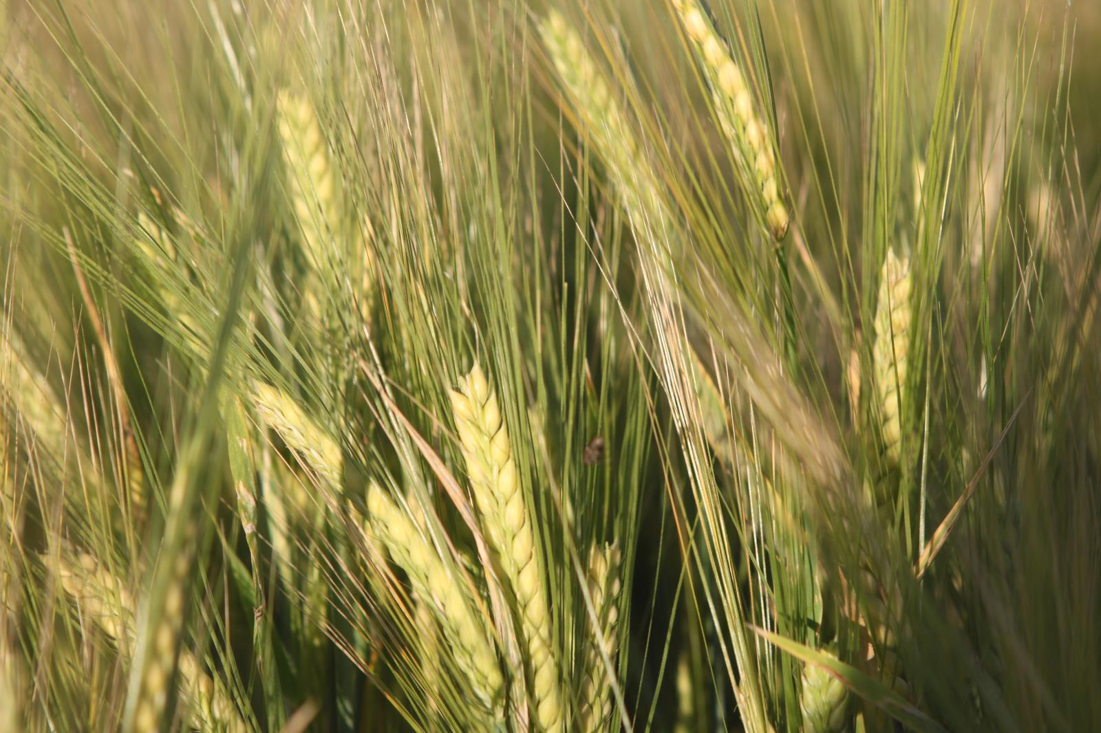 A barley field in East Idaho is shown in this file photo. Scoular Co. has announced it will build a $13 million barley manufacturing facility that will initially process 1.9 million bushels of barley annually.