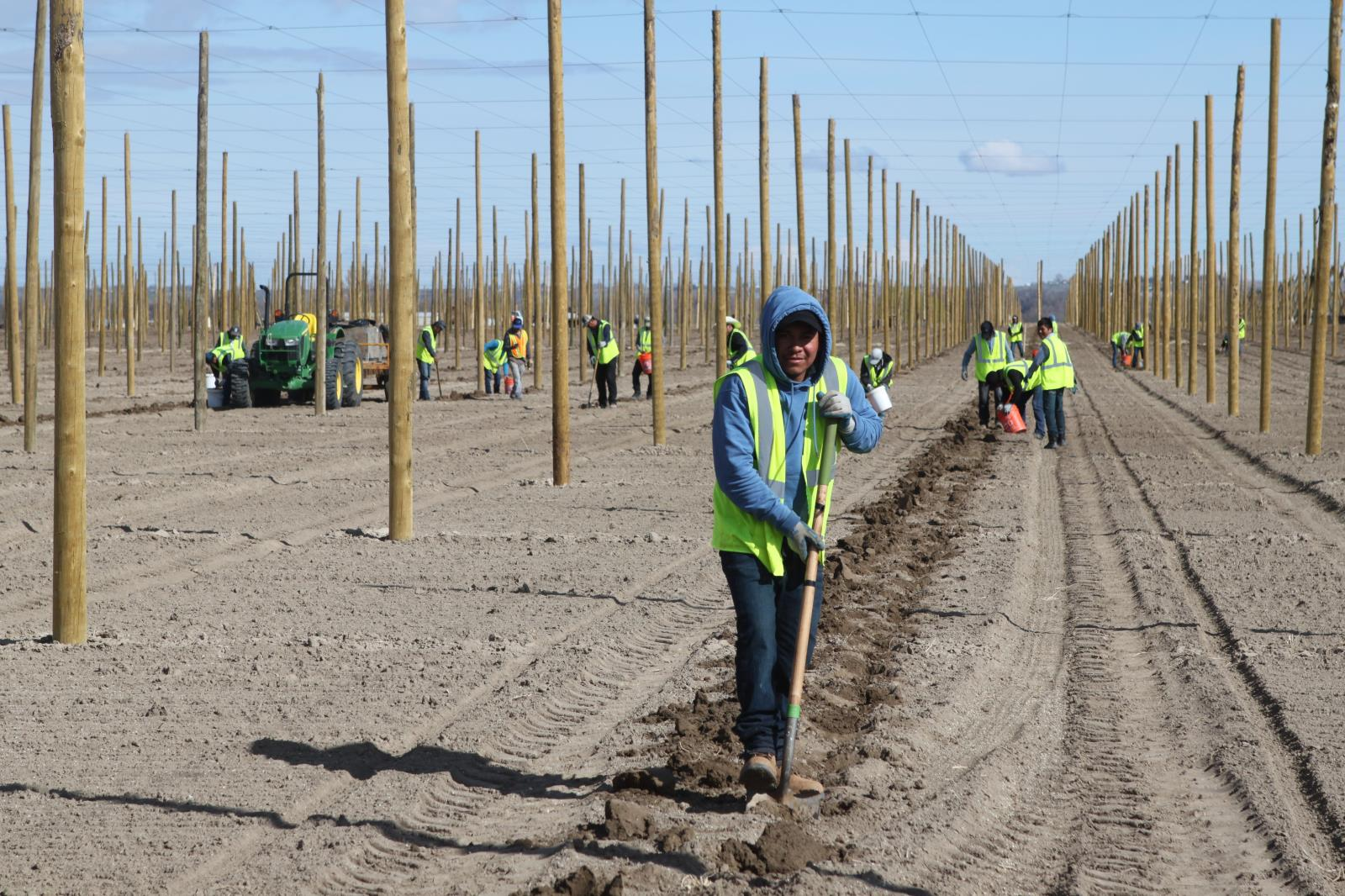 Farm workers prepare a hop yard for planting in this file photo. Idaho hop acres are estimated at a record 9,374 this year, which is 12 percent more than the 8,358 acres of hops that were harvested in the Gem State last year.