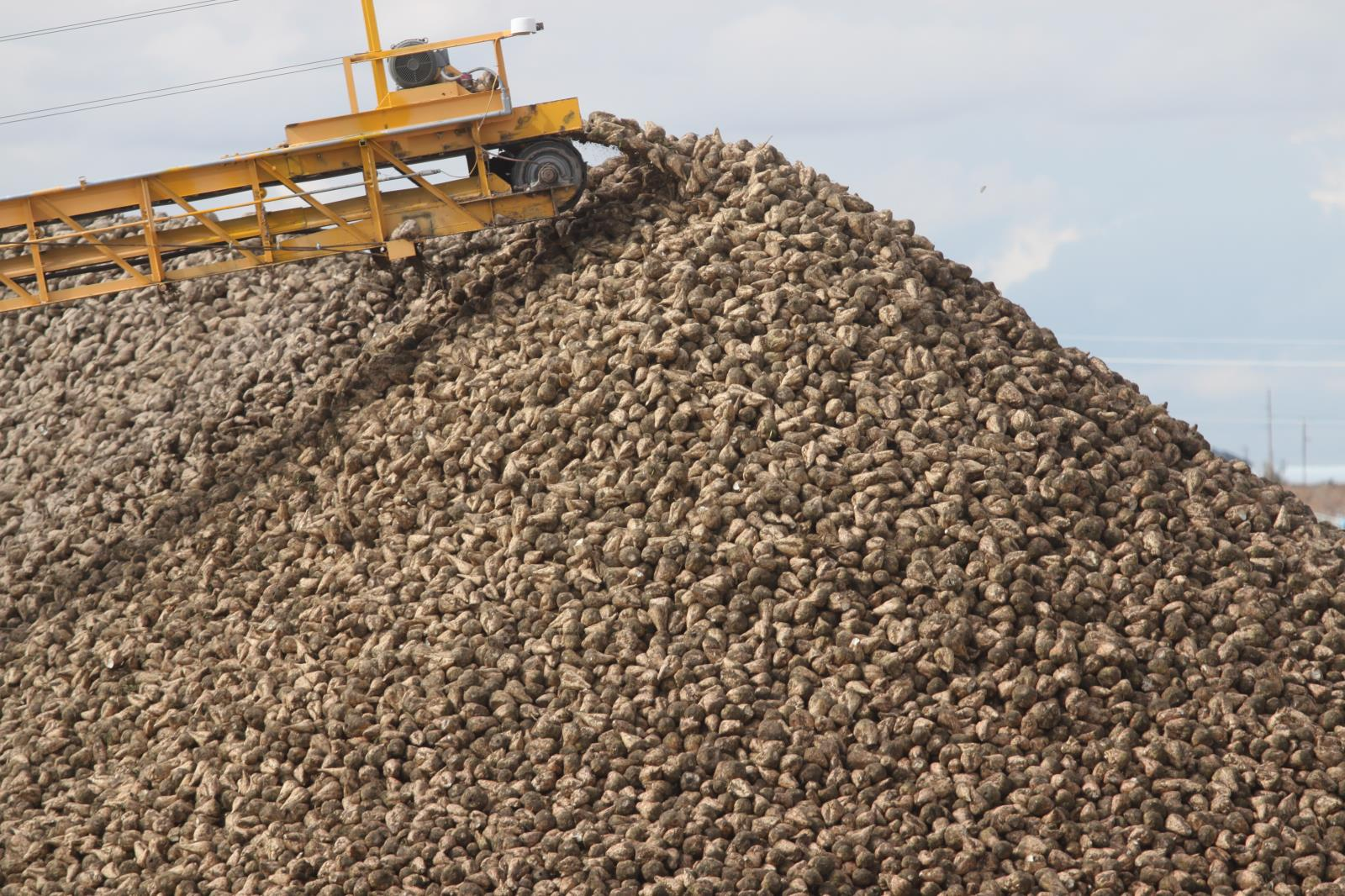 Idaho sugar beet growers are reporting good yields and sugar content so far during this year's harvest. Idaho farmers grow about 170,000 acres of sugar beets each year.