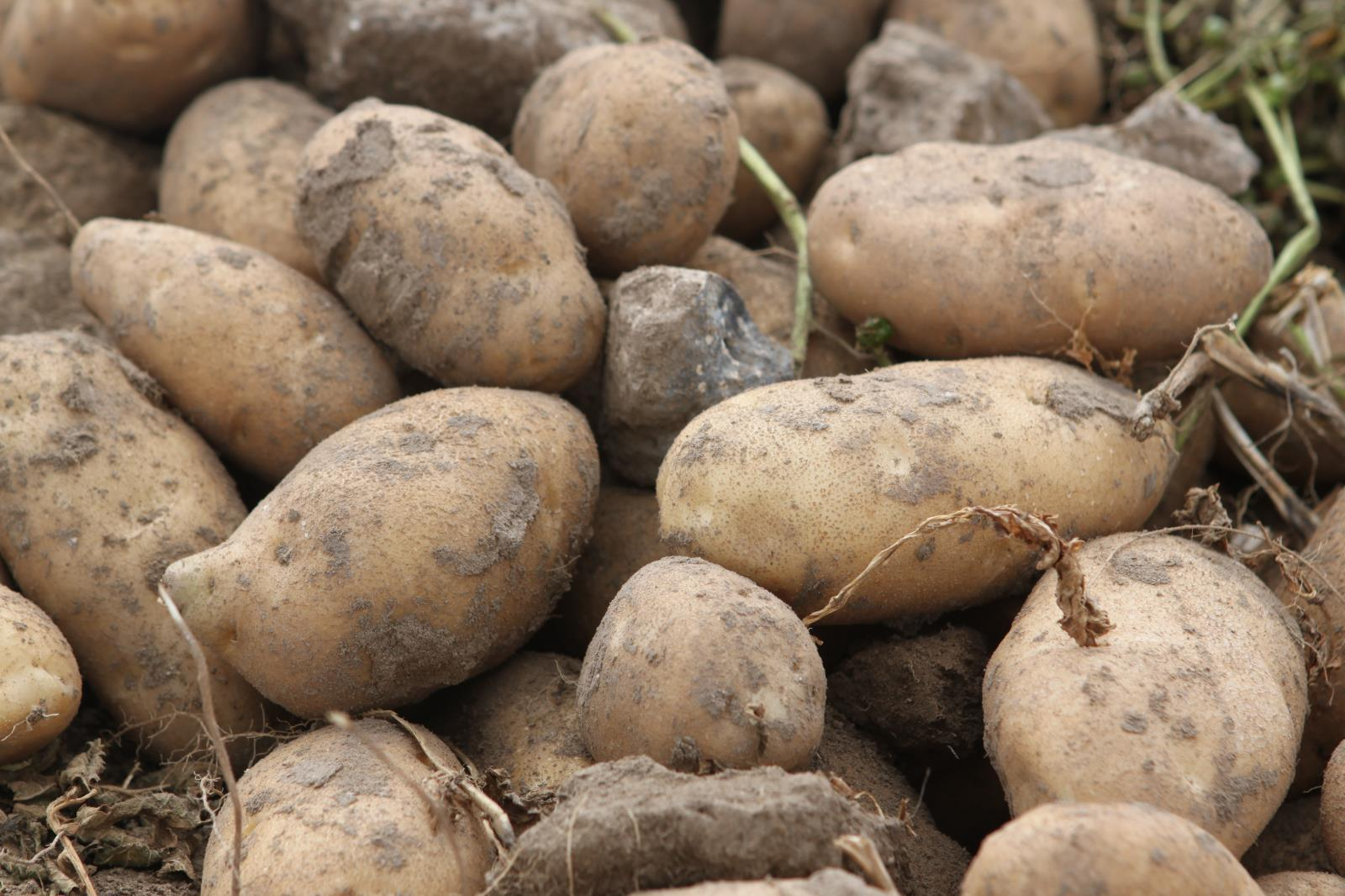 Idaho's potato industry faced severe harm during the beginning of the coronavirus-related shutdowns but major efforts undertaken by the state and national groups that represent spud farmers have helped them weather the storm.